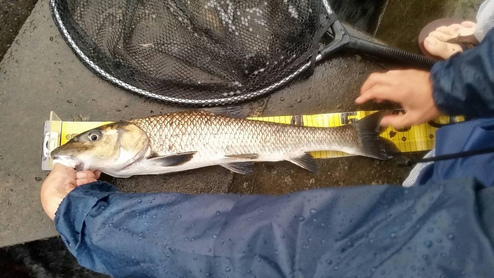 ブラックバス釣りに行ったら、60センチぐらいのニゴイが釣れた