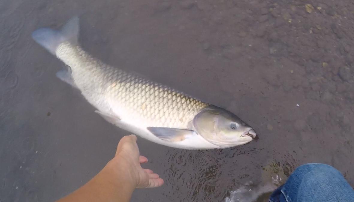 【草魚の釣り方】荒川で1mオーバーのソウギョを、草食なのにミミズで釣ってきた!画像あり