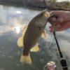 【初心者でも簡単】スモールマウスバスの釣り方【川スモール】